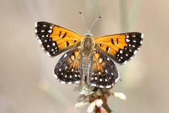 7 loài bướm hiếm nhất thế giới