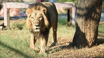 Sư tử trốn khỏi vườn thú gây náo loạn khu phố đông người