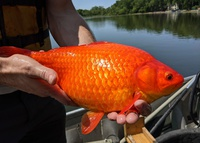 Phát hiện cá vàng khổng lồ ở Minnesota