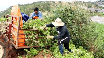 Xót xa nông dân Đà Lạt nhổ bỏ hàng chục tấn rau, hoa vì không bán được