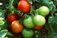 5 loại rau không thích hợp cho bà bầu ăn, mẹ bầu nên biết trước kẻo ''rước họa''