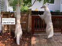 Điều đặc biệt gì khiến chú chó nổi tiếng này được gọi là hươu cao cổ, khủng long