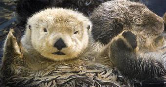 Gia đình gấu đen rủ nhau đại náo hồ bơi để giải nhiệt mùa hè