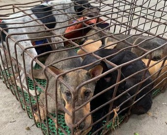 Dùng xe bán tải chở chó đi tiêu thụ, cẩu tặc bị công an bắt giữ