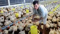 Dịch COVID-19: Cấp bách tìm đầu ra cho đàn gà các tỉnh Đông Nam bộ