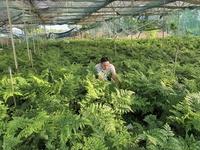 Thu lãi hơn nửa tỉ đồng mỗi năm từ cây dương xỉ