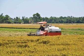 Kiến nghị tăng mua dự trữ quốc gia lúa Hè Thu để tránh trục lợi