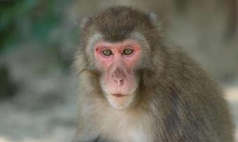 Con khỉ cái gây bất ngờ khi trở thành ''bà trùm'' trên hòn đảo Nhật Bản