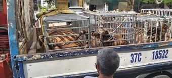 Nuôi nhốt trái phép 17 con hổ trưởng thành trong nhà dân ở Nghệ An
