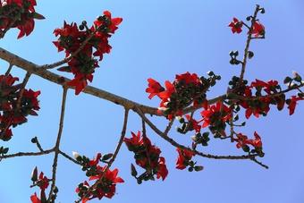 Tháng 3, chiêm ngưỡng những cây gạo già ra hoa rực đỏ nơi miền Trung