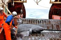 """Con vật """"đáng thương"""" nhất đại dương: Phải sống đến hơn 150 năm mới dậy thì, được giao phối lần đầu trong đời"""