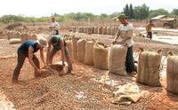 ''Choáng'' với hạt điều Campuchia