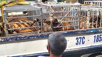 Phát hiện 17 cá thể hổ trưởng thành được nuôi nhốt trong nhà dân