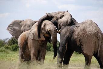 Vì sao voi có thể toát 500 lít mồ hôi mỗi ngày?