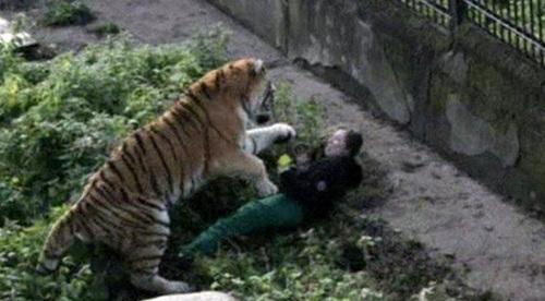 Bước ra ngoài ô tô, người phụ nữ bất ngờ bị 1 con hổ lôi đi và diễn biến không theo dự đoán