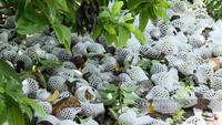 Tây Ninh: Không tiêu thụ được, nông dân xót ruột nhìn hàng trăm tấn mãng cầu chín rụng