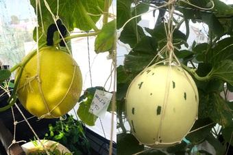 Gia chủ Sài Gòn vác đất lên sân thượng, làm vườn rau trái xanh sum suê