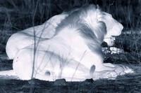 Màn hạ sát trâu rừng trong đêm tiết lộ sự đáng sợ của sư tử
