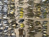 Chim chết hàng loạt quanh các tòa nhà chọc trời ở New York