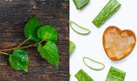 Cách trị mụn bằng rau diếp cá an toàn, hiệu quả giúp da sáng mịn