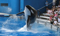 """Bị bắt nhốt từ năm 3 tuổi, cá voi làm """"trò vui"""" cho con người quay sang tấn công huấn luyện viên và kết thúc cuộc đời trong bi thảm"""