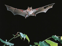 Phát hiện 3 virus giống SARS-CoV-2 ở dơi trong hang động Lào