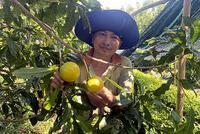 """Hậu Giang: Vùng đất này nông dân trồng thứ vú sữa lạ quá, trái chín nhìn như """"cục vàng"""", bán 150.000 đồng/kg"""