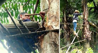 Đặc sản ''rượu trời'' chảy ra từ thân cây ở Quảng Nam