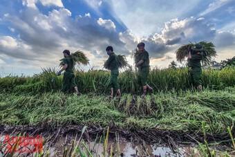 [Ảnh] Công an Thủ đô đội nắng, thâu đêm cứu lúa giúp nông dân trong khu phong tỏa