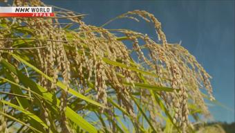 Dùng phân bón đặc biệt, nông dân làm ra loại gạo ngon nhất Nhật Bản