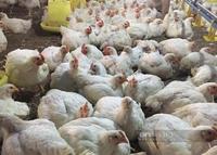 Giá gia cầm hôm nay 20/9: Cập nhật giá gà, vịt mới nhất tại các chợ đầu mối, vịt được giá cao