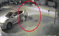 Đang đi dạo, người đàn ông bị 2 con chó Pitbull hung dữ tấn công, điều gì xảy ra sau đó?