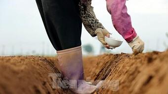 Nông dân tất bật ở vựa rau lớn nhất Hà Nội sau khi nới lỏng giãn cách