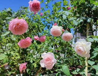 Những vườn hoa hồng tràn ngập hương sắc trên sân thượng của gia chủ Việt