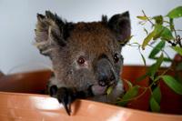 Thiên tai ''cướp'' mất 30% gấu túi koala ở Úc chỉ trong 3 năm