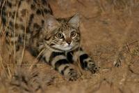 Mèo nhỏ nhưng có võ, con mồi hiếm khi thoát khỏi móng vuốt của nó
