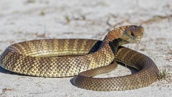 10 loài rắn nguy hiểm nhất thế giới, nếu có gặp phải né luôn và ngay