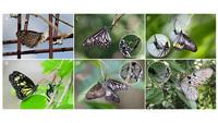 Tiết lộ gây sốc về hành vi kinh khủng của loài bướm