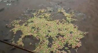 """Chàng trai gây tò mò vì mang 2 túi bỏng ngô ra sông, vừa đổ xuống mặt nước đã """"sôi sùng sục"""": Hôm sau quyết định đi câu"""