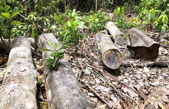 Quảng Ngãi: Lâm tặc chặt hạ 14,7 m3 gỗ trong rừng phòng hộ đầu nguồn