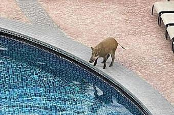 Hài hước cảnh lợn rừng lẻn vào khu nghỉ để tắm mát