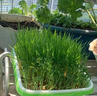 Nữ nhân viên ngân hàng làm vườn 3m2 xả stress, phủ xanh ban công ở Thủ đô