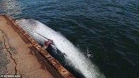 Sốc cảnh cá voi quý hiếm dài 10 mét kẹt cứng ở mũi tàu chở dầu Nhật Bản
