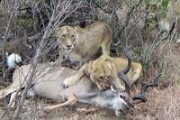 Sư tử 'giăng bẫy' tuyệt đỉnh, đoạt mạng linh dương vằn Kudu