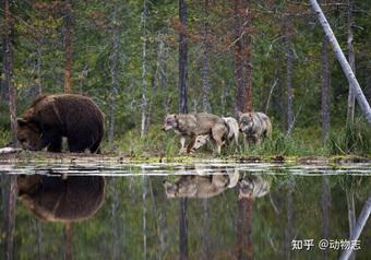 """Các nhà khoa học lần đầu ghi nhận cảnh tượng chó sói """"dàn cảnh"""" để bắt gấu nâu"""