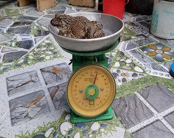 Phát hiện con ếch 6 chân kỳ lạ ở Đồng Tháp