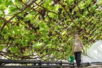 Cây nho lớn lâu đời nhất nhất thế giới bên trong Cung điện Hampton Court