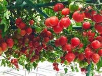 """Mẹ Hà Nội chia sẻ bí quyết """"vàng"""" trồng cây cà chua bạch tuộc trên sân thượng để quanh năm quả sai trĩu cành"""