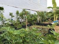 Mượn đất đồng nghiệp, vợ chồng ở Đà Nẵng làm vườn trái cây trăm gốc