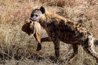 Cảnh tượng khó tin: Linh cẩu cắn lìa đầu sư tử cực kỳ dã man